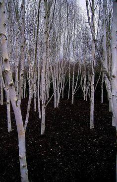 Silver Birch grove in the spring