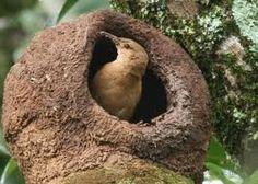 Joao de barros (Brazil) (Ovenbird)