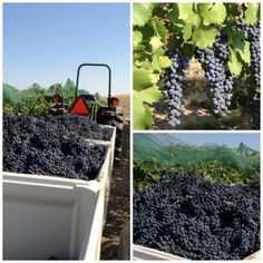 2014 Woodward Canyon Estate Dolcetto being harvested.