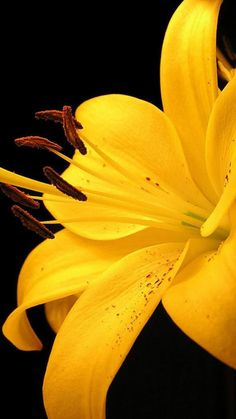 lily, petals, bud, yellow