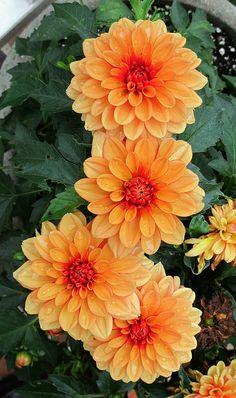 Dahlias, Kentlands, Home Garden Exotic Flowers, Orange Flowers, Amazing Flowers, Beautiful Roses, Colorful Flowers, Beautiful Flowers, Cut Flower Garden, Flower Farm, Ikebana