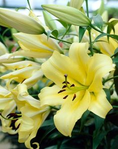 46 Best Lilies Images In 2020 Growing Lilies Lily Garden Lily
