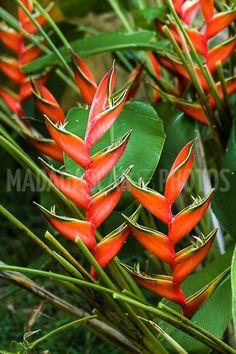 Fleurs tropicales de Madagascar Heliconias