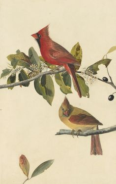 John James Audubon, Northern Cardinal (Cardinalis cardinalis), Study for Havell pl. 159, 1822. Watercolor, pastel, gouache, graphite, and black ink with selective glazing on paper, laid on card. New-York Historical Society, Purchased for the Society by public subscription from Mrs. John J. Audubon, 1863.17.159