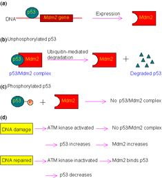 Primary information of p53 gene