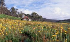 Gallery - High country huts of the Australian Alps - Australian Geographic - a field of billy buttons surrounds Four Mile Hut