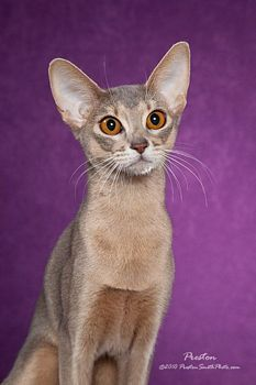 beautiful Abyssinian