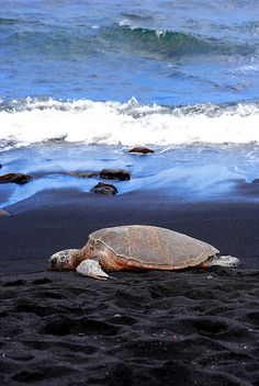 A Hawaiian green sea turtle resting on the black sand beach of Punalu'u in Kailua Kona on the Big Island of Hawaii by rao.anirudh