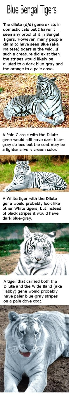 I still haven't found any good proof that the Blue tiger, aka the Maltese tiger, actually exists. But I like to imagine he's out there and that we might someday see some of these beautiful blue colors in person. The Blue Tabby Tiger would certainly be my favorite!