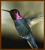 """Although at least 150 North American flowering plants can attract hummingbirds, consider these favorites for hardiness and nectar production."" Excellent article for container gardeners and small patio gardeners who want to attract hummers."