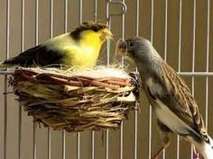 Canarios mas Faciles  para criar consejos en la cria