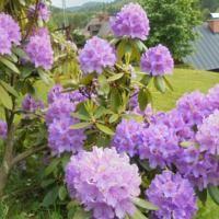 Pension Nola Scabiosa Columbaria, Beste Hotels, Plantation, Perennials, Planting Flowers, Butterfly, Plants, Blue, Comme