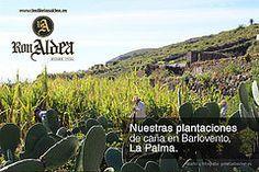 Nuestras plantaciones de Caña de Azúcar en Barlovento, La Palma. #ronaldea #lapalma #islascanarias #canarias #ron #rum #canaryislands
