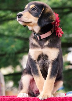 Australian shepherd & lab mix foster puppy | adopt, don't shop