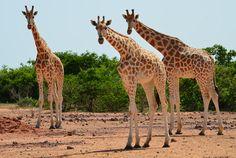 Žijí zde gazely, oryxové, paovce hřivnaté, gepardi a pštrosi. U řeky Niger svůj domov nacházejí sloni, žirafy, hroši, antilopy a buvoli.