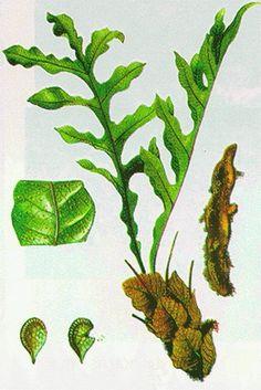 Tắc Kè Đá có tên khoa học là Drynaria bonii Christ, còn gọi là Cốt Toái Bổ, hay có nơi gọi là Thằn Lằn Đá, là một loại dương xỉ sống phụ sinhTắc Kè Đá có tên khoa học là Drynaria bonii Christ, còn g� - Tin đăng ID: 2460418