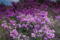 Wild moorland heather
