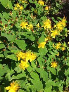 Blomstereksempler rundt fra haven og de forskellige bede. Her en gul perikon