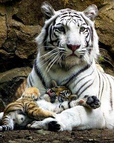 #COLOMBIA, Cali #Zoo: Indira the #Bengal white tigress with her sooooo cute cub.