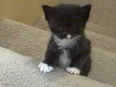 Kittens first trip up the stairs! cute tabbies & tuxedos kitties climb s...