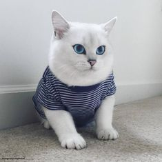 Resultado de imagem para gato blanco