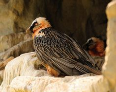 Bearded Vulture, Gypaetus barbatus. Photo by Gianni Pilera