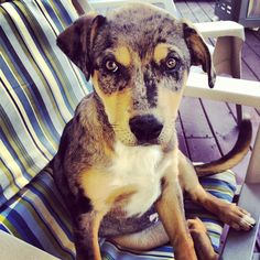 Gorgeous Catahoula Heeler puppy named Luna