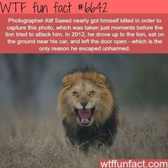 Roaring Lion Facts (WTF Facts) - World's largest collection of cat memes and other animals Wtf Fun Facts, Funny Facts, Funny Memes, Random Facts, Interesting Facts About Lions, True Facts, Creepy Facts, Interesting Stories, Cat Memes