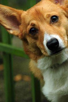 Pembroke Welsh Corgi/昔のクセが抜けない胴長・短足の犬|「Dog Safety 倶楽部 」のファンがつくるサイト