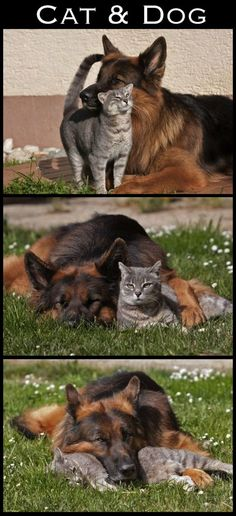 I wish my cat and dogs got along this well!!!  I am still holding out hope, dog is still a puppy...