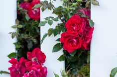 Roses that grow best. Are roses easy to grow? When to buy a rose bush. What is the prettiest rose? World's prettiest flower this year. Do floribunda roses bloom all summer? How to keep a rose bush blooming. Roses with the most fragrance. Floribunda Roses, Shrub Roses, Rose Pictures, Flower Photos, Pretty Roses, Beautiful Roses, Red Shrubs, Best Roses, Mountain Rose