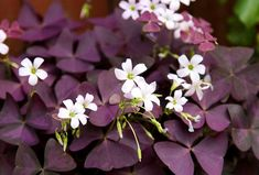 Indoor Flowering Plants, Outdoor Plants, Air Plants, Shamrock Plant, Purple Shamrock, Oxalis Triangularis, Wood Sorrel, Herbaceous Border, Plant Growth