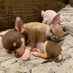 we are best Reliable and suppliers of puppies worldwide. Our shipping and delivery is safe and convenient. We are ready to sell and supplies the puppies World Wide Call/text or WhatsApp us via Chihuahua Love, Chihuahua Puppies, Cute Dogs And Puppies, Baby Puppies, Baby Dogs, Doggies, Chihuahua Breeds, Animals And Pets, Funny Animals