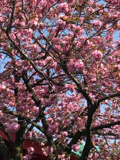 Spring in Tokyo 2017-- I like the close-up shot of the pretty pink flowers on this tree.