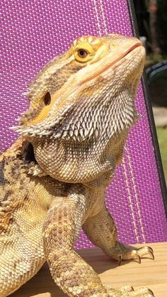 Exotic pets 858780222681929249 - Source by julieleibenguth Fancy Bearded Dragon, Bearded Dragon Colors, Bearded Dragon Funny, Les Reptiles, Cute Reptiles, Reptiles And Amphibians, Unique Animals, Animals Beautiful, Rabbit Cages