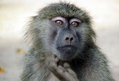 The Sad Truth About Wild Caught Baboons Used for Research in Kenya Animal experimentation is cruel, outdated & unscientific. A curse on the vile researchers that,went to do experiments on these innocent animals.