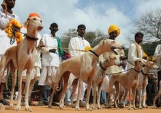 Mudhol Hound is a common companion amongst village folk in India's Deccan Plateau, who use the dog for hunting and guarding. Dog Breeds List, Hound Breeds, I Like Dogs, Dog Love, Thai Ridgeback, Hounds Of Love, Pharaoh Hound, Hound Puppies, Irish Terrier