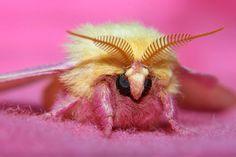 Rosy maple moth : ピンクと黄色のモフモフ❤「ロージーメープルモス」とかいう蛾がやたらメルヘンw - NAVER まとめ
