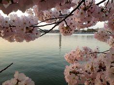 Cherry BlossomsDC94_MQ2013