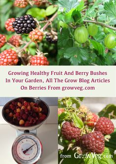 How to incorporate and care for fruit and berry bushes in your garden. How to use them in permacultue and their fruit for preserving. Useful hints on keeping your bushes healthy and how to prune them to best effect.Click on the link here to get you to the articles and then apply all that know how http://www.growveg.com/growblog.aspx?t=berries