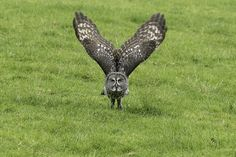 Great Grey Take-Off | Wales | by Gary Hickson via Flickr