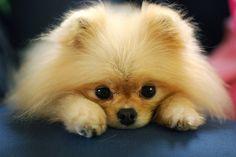 Baby Pomeranian puppy. So cute.