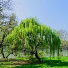 28 ideas for weeping willow tree photography Weeping Willow, Willow Tree, Willow Bark, Sauce Arbol, Trees For Front Yard, Landscaping Around Trees, Baumgarten, Fast Growing Trees, Pine Tree Tattoo