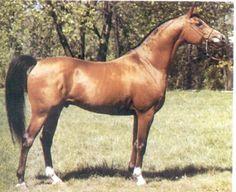 EUROPEJCZYK (*El Paso x Europa, by *Bandos) 1982 bay stallion bred by Janow Podlaski State Stud
