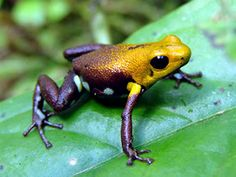 This purple and gold frog was recently discovered in a remote mountainous region of Ecuador and Colombia. It's called the Golden Poison Frog of Supatá (Ranitomeya sp. Reptiles And Amphibians, Mammals, Frosch Illustration, Golden Frog, Snake Turtle, Amazing Frog, Poison Dart Frogs, Frog And Toad, Tree Frogs