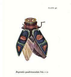 Jewel Beetle Vintage Entomology Print