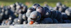 La coccinelle et la grappe de raisin, nouvelle fable de Jean de la Fontaine?  Ladybird and the champagne  grapes