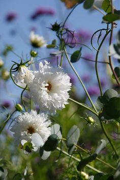 Punakosmos (Cosmos bipinnatus) 'Double Click Snow Buff' ja hopeaeukalyptus (Eucalyptus gunnii 'Silbertropfen')  http://www.viherpiha.fi/kesakukat/rakkaat-kesakukat-2-kukkatarhan-varileikki