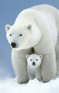 Wonderful polar bear and cub.