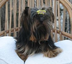YORKIE BREEDER FROM LACHICPATTE.COM